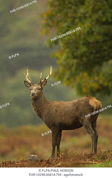 Red Deer Cervus elaphus stag, standing in rainstorm, during rutting season, Bradgate Park, Leicestershire, England, november