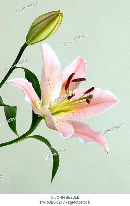 Lilium 'Star Gazer', Lily