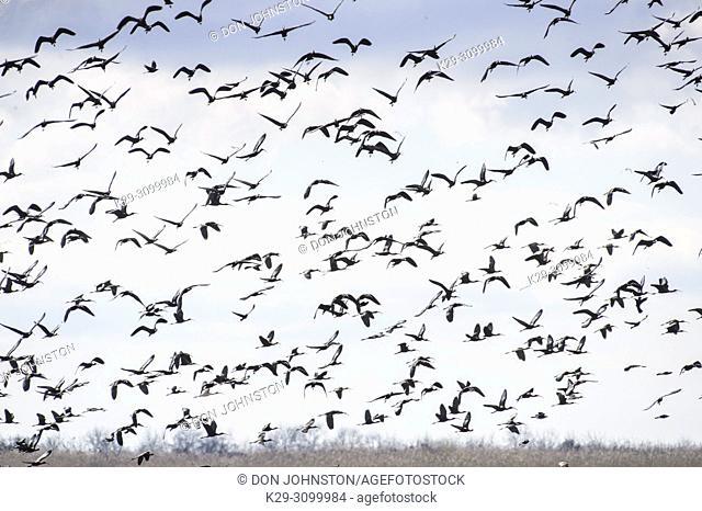 Flock of Glossy ibis (Plegadis falcinellus) in flight over the marsh, Rockefeller Wildlife Refuge, Cameron Parish, Louisiana, USA