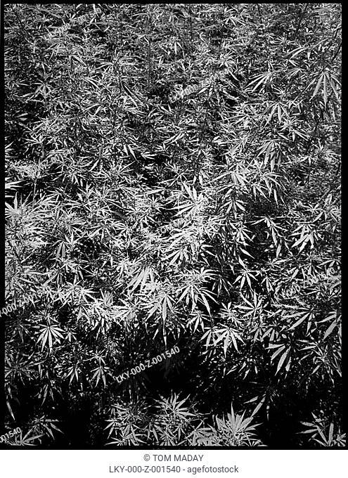 Leaves of dense shrubbery