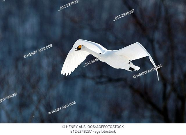 Whooper swan flying (Cygnus cygnus), Japan