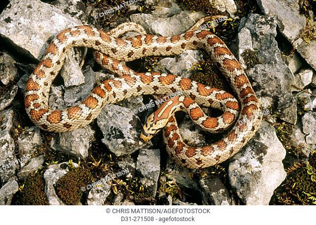 Leopard Snake (Elaphe situla)