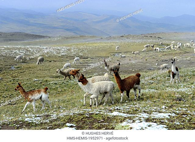 Peru, Arequipa Province, Colca Canyon, Chivay, herd of llamas in the snow