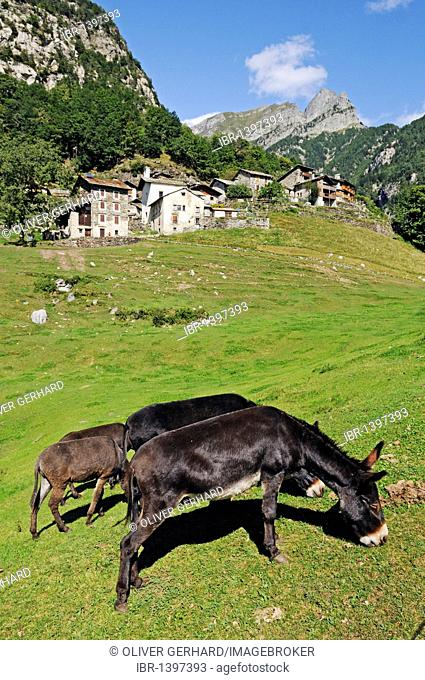 Donkeys grazing in the village of Dasile near Savogno, Val Bregaglia, VBergell Valley, and Chiavenna, province of Sondrio, Italy, Europe