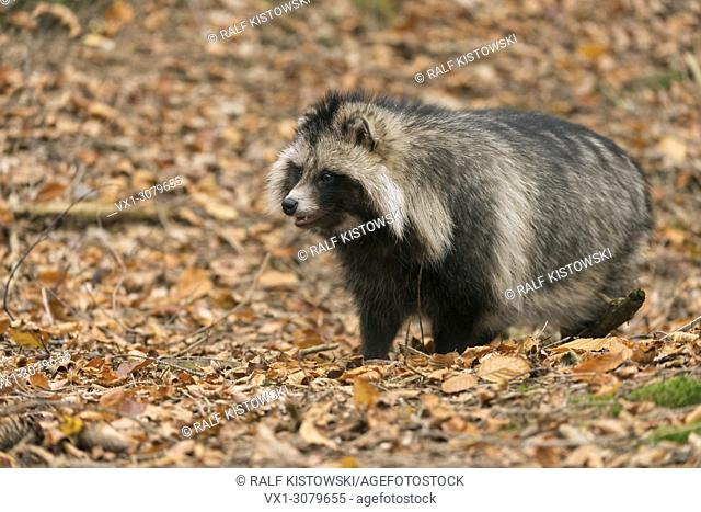 Raccoon Dog ( Nyctereutes procyonoides ) stands inmidst of autumn foliage, autumnal colors, invasive species, Europe.