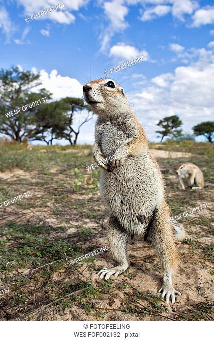 Africa, Botswana, Mabuasehube, African ground squirrel at kgalagadi transfrontier park
