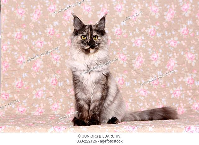 American Longhair, Maine Coon. Adult queen sitting, seen against a floral design wallpaper
