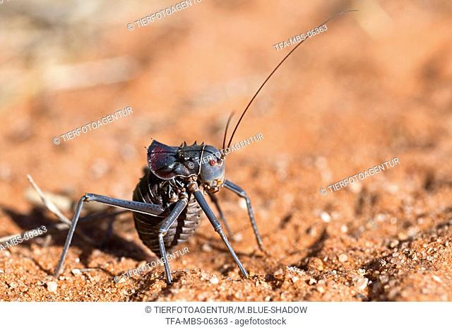 armored cricket
