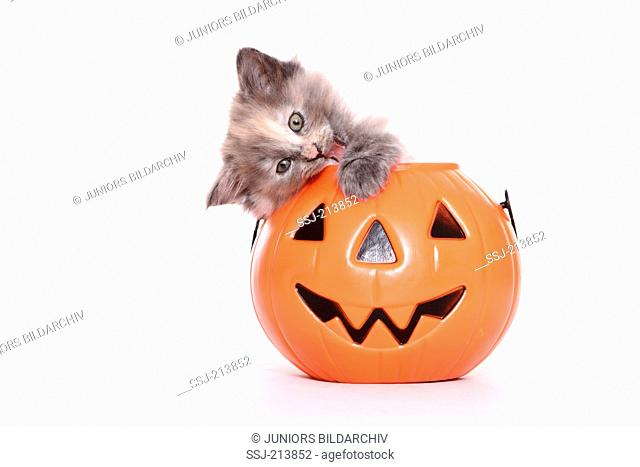 Norwegian Forest Cat. Kitten (6 weeks old) playing in a Jack-O-Lantern. Studio picture against a white background. Germany