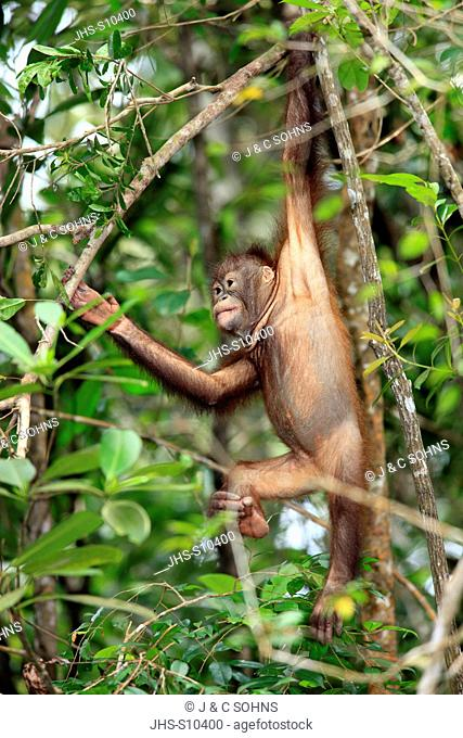 Orang Utan,Pongo pygmaeus,Sabah,Borneo,Malysia,Asia,subadult climbing in tree