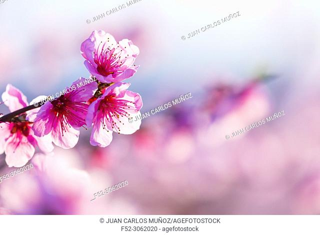 Flowering, Peach tree (Prunus persica), Fruiturisme, Tourism Experience, Aitona village, Baix Segre, Lleida, Catalonia, Spain, Europe