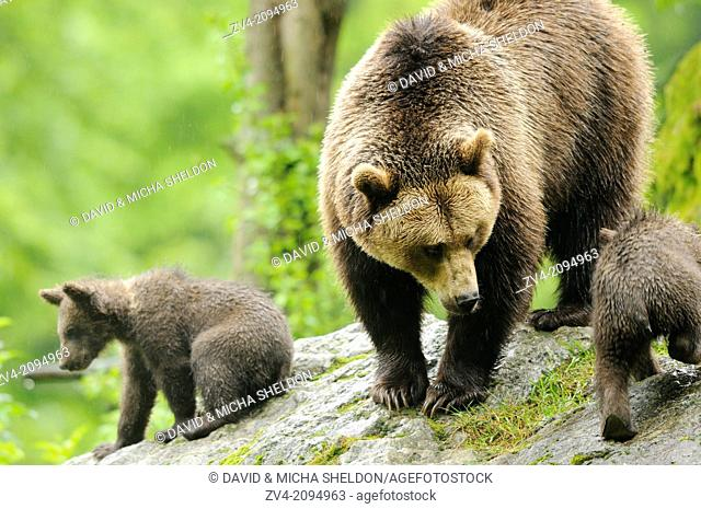 Close-up of a european brown bear (Ursus arctos) mother with her cubs in the Bavarian Forest, Germany