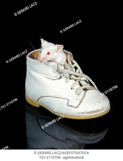 White Mouse, mus musculus standing in Baby's Shoe