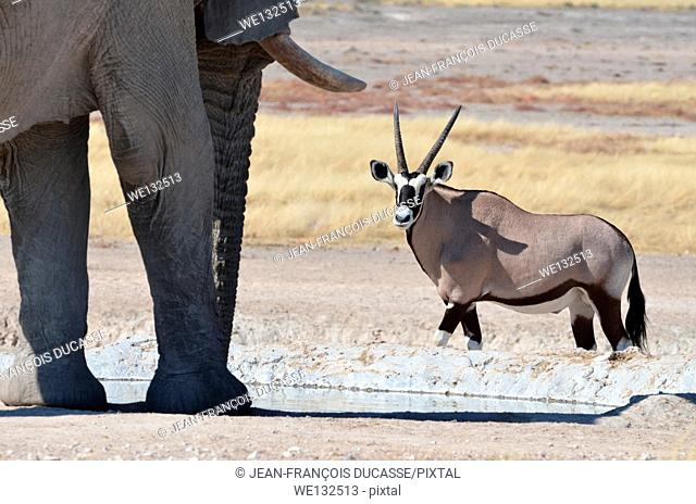 African elephant (Loxodonta africana) and gemsbok (Oryx gazella), drinking at waterhole, Etosha National Park, Namibia, Africa