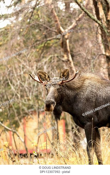 A young bull moose (alces alces) walks around with rope twisted around his antlers near Potter Marsh in autumn. He evidently got tangled up in the rope but...