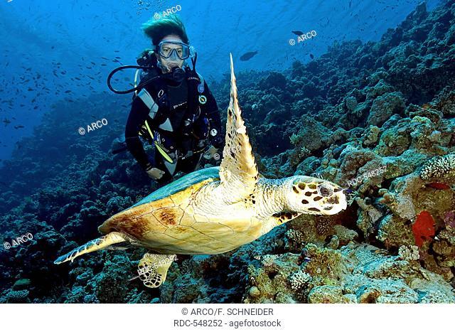 scuba diver and Hawksbill turtle, Dahab, Sinai, Egypt, Gulf of Aqaba, Red Sea, Africa / (Eretmochelys imbricata)
