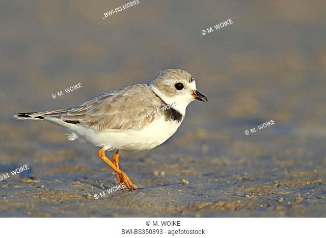 Piping plover (Charadrius melodus), Regenpfeifer in breeding plumage standing on the shore, USA, Florida