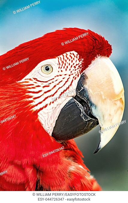 Red Green Macaw Green Wing Macaw Head Portrait