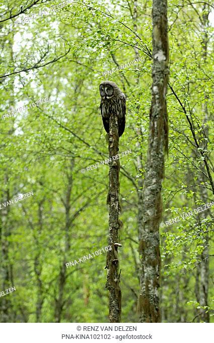 Great Grey Owl Strix nebulosa - Finland, Scandinavia, Europe