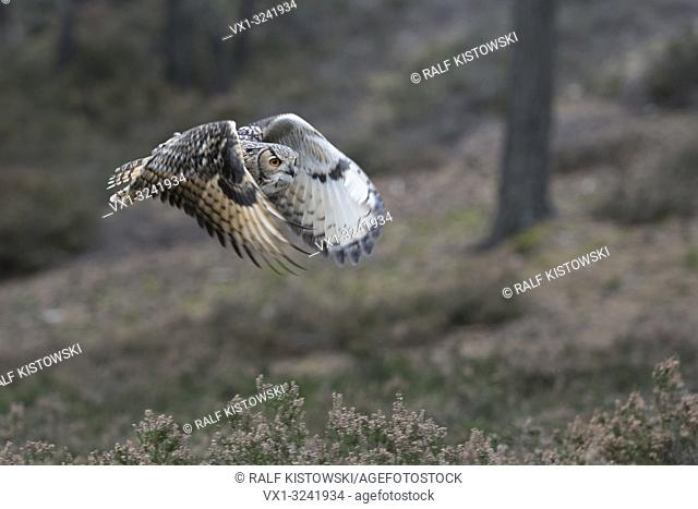 Indian Eagle-Owl / Rock Eagle-Owl / Bengalenuhu ( Bubo bengalensis ) in flight through the woods, flapping its wings, noiseless, hunting