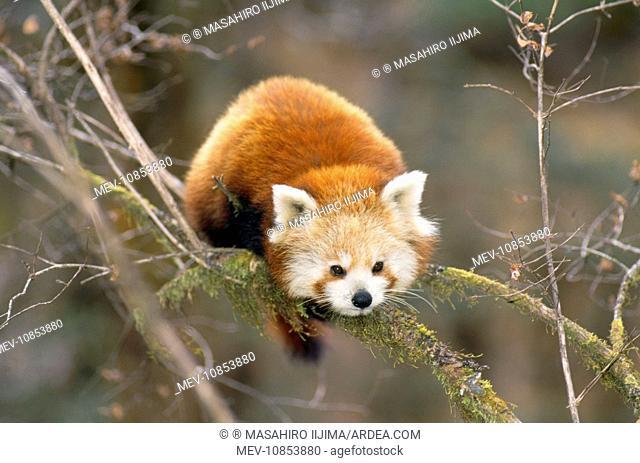 Red Panda / Lesser Panda / Red Cat-bear (Ailurus fulgens)