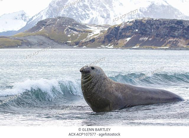 Elephant Seal, Mirounga angustirostris, South Georgia Island