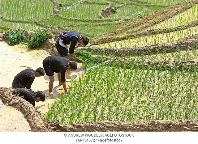 Hilltribe men replant and respace half grown rice near Sapa north Vietnam
