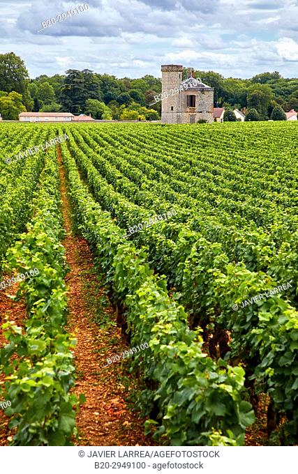 Pinot noir vineyards, Chateau de La Tour, Vougeot, Côte de Nuits, Côte d'Or, Burgundy Region, Bourgogne, France, Europe