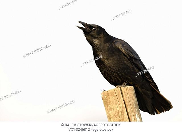 Carrion Crow / Rabenkraehe ( Corvus corone ) in winter, perched on a fence pole, calling, crawing loudly, wildlife, Europe