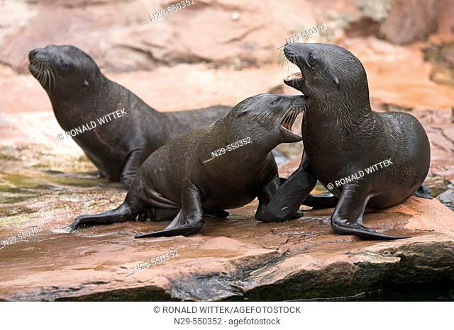 Californian Sea Lions (Zalophus californianus), captive cubs. Germany