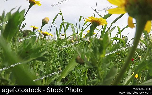 Walking in a field with yellow daisies, shooting close up, from a low point, among the plants