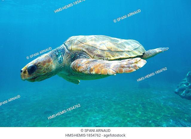 France, Ile de la Reunion (French overseas department), Saint Leu, Pointe des Chateaux, Marine farm Kelonia, Giant turtle in an aquarium