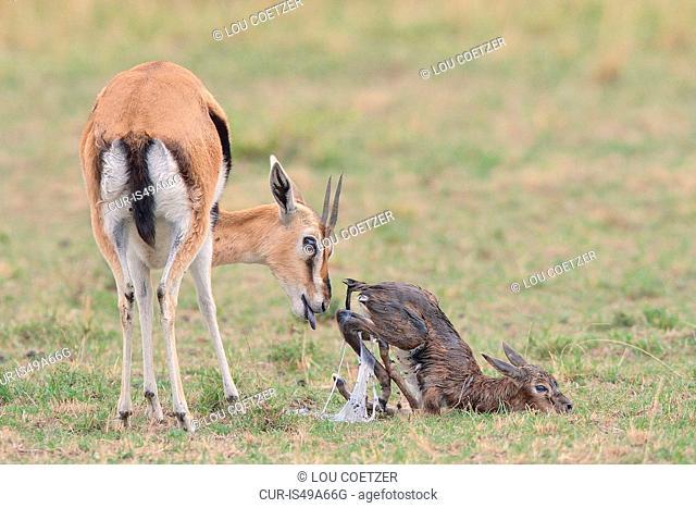 Thomson's Gazelle (Eudorcas thomsonii) and her newborn, Mara Triangle, Maasai Mara National Reserve, Narok, Kenya, Africa