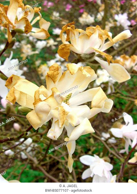 star magnolia (Magnolia stellata 'Pink Perfection'), flowers with frost damage
