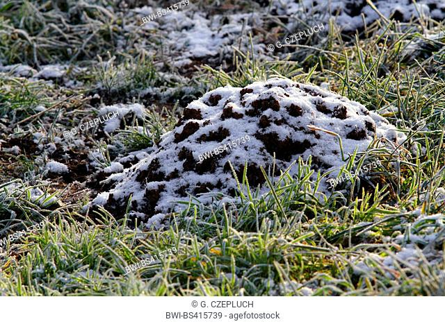 European mole, Common mole, Northern mole (Talpa europaea), molehill with hoarfrost, Germany