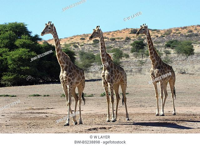 giraffe Giraffa camelopardalis, three animals walking through the steppe side by side, South Africa, Kgalagadi Transfrontier NP