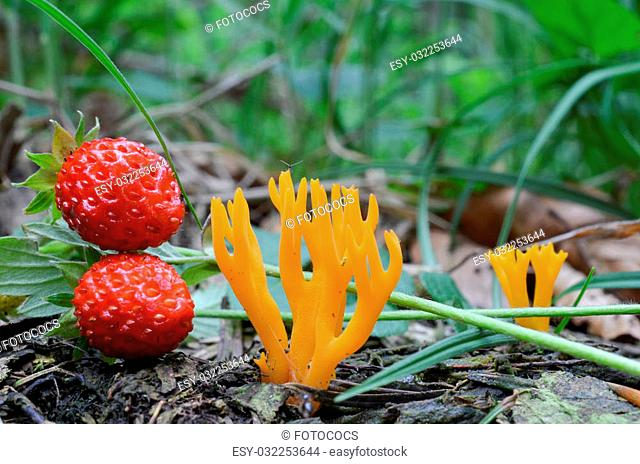 Yellow Stagshorn mushroom or Calocera viscosa in natural habitat, in the company of wild, ripe strawberries