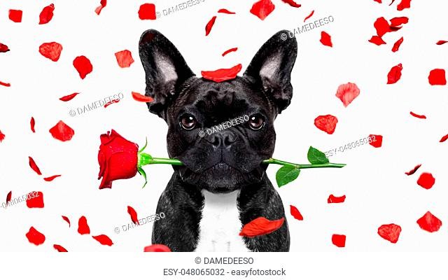 french bulldog dog crazy and silly in love on valentines day , rose petals flying and falling as background, isolated on white ,rose in mouth