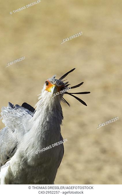 Secretary Bird (Sagittarius serpentarius). Kalahari Desert, Kgalagadi Transfrontier Park, South Africa