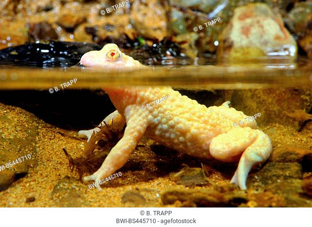 yellow-bellied toad, yellowbelly toad, variegated fire-toad (Bombina variegata), albino in shallow water, Germany