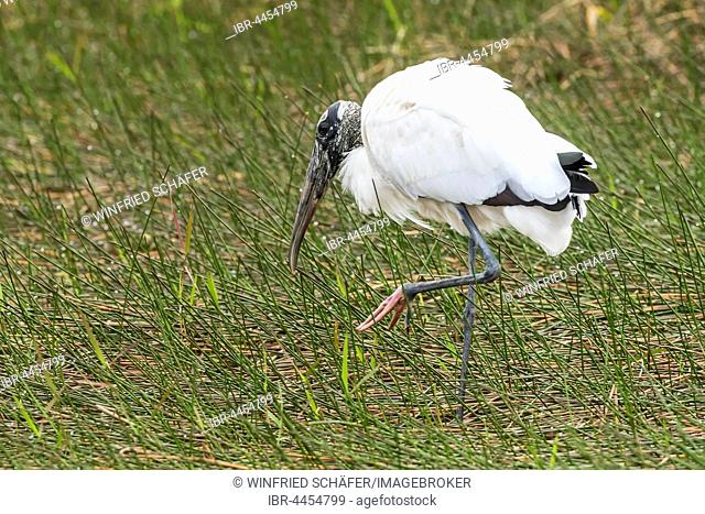 Wood stork (Mycteria americana), looking for food in reeds, Everglades National Park, Florida, USA
