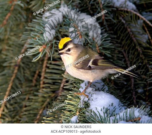 A male Golden-crowned Kinglet, Regulus satrapa, perched on a spruce branch in Saskatoon, Saskatchewan, Canada