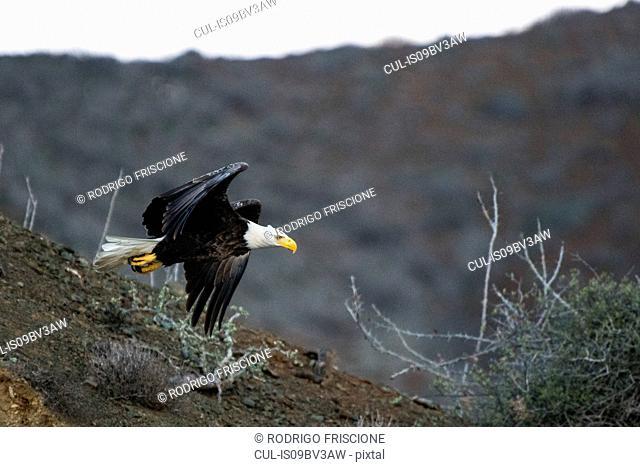 Mexican Bald Eagle taking off, San Carlos, Baja California Sur, Mexico
