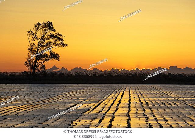 Rice field which is about to be flooded. At sunrise. Environs of the Ebro Delta Nature Reserve, Tarragona province, Catalonia, Spain