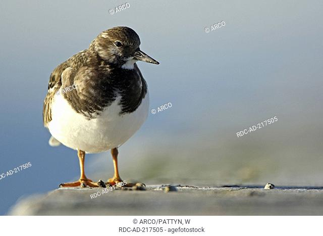 Ruddy Turnstone, Belgium, Arenaria interpres