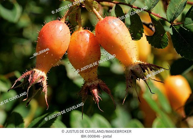 French rose with rose hips - fruits - (Rosa gallica cultivar Cardinal de Richelieu)