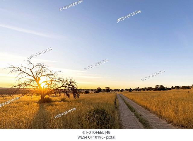 Botswana, Kgalagadi Transfrontier Park, Kalahari, gravel road and camelthorns at sunset