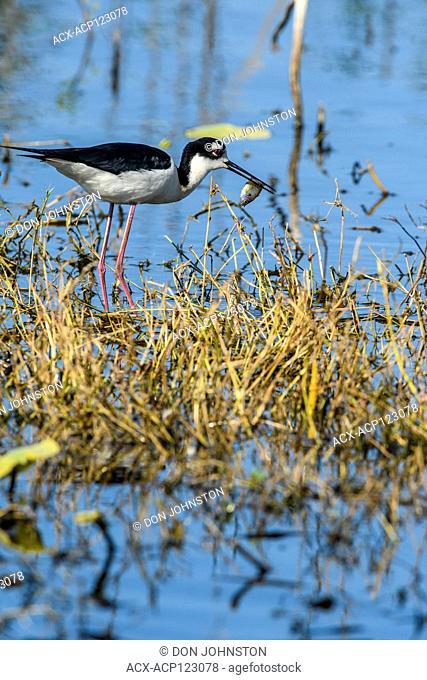 Black-necked stilt (Himantopus mexicanus) Foraging in Northern Shoveler Pond, Anahuac NWR, Texas, USA