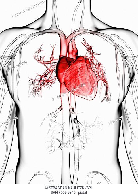 Human vascular system, computer artwork