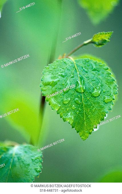 Raindrops on leaves of Birch in Finland